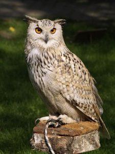 eagle-owl-377192__340