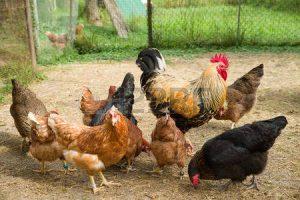 64297983-gallo-e-pollo
