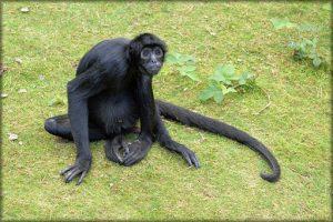 monkey-217031__340