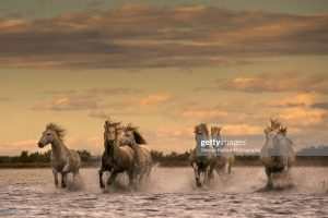 camargue-horses-south-of-france-picture-id1134517081
