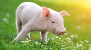 depositphotos_45459971-stock-photo-young-pig-on-a-green